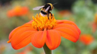Photo of Ventajas de la polinización con abejorros