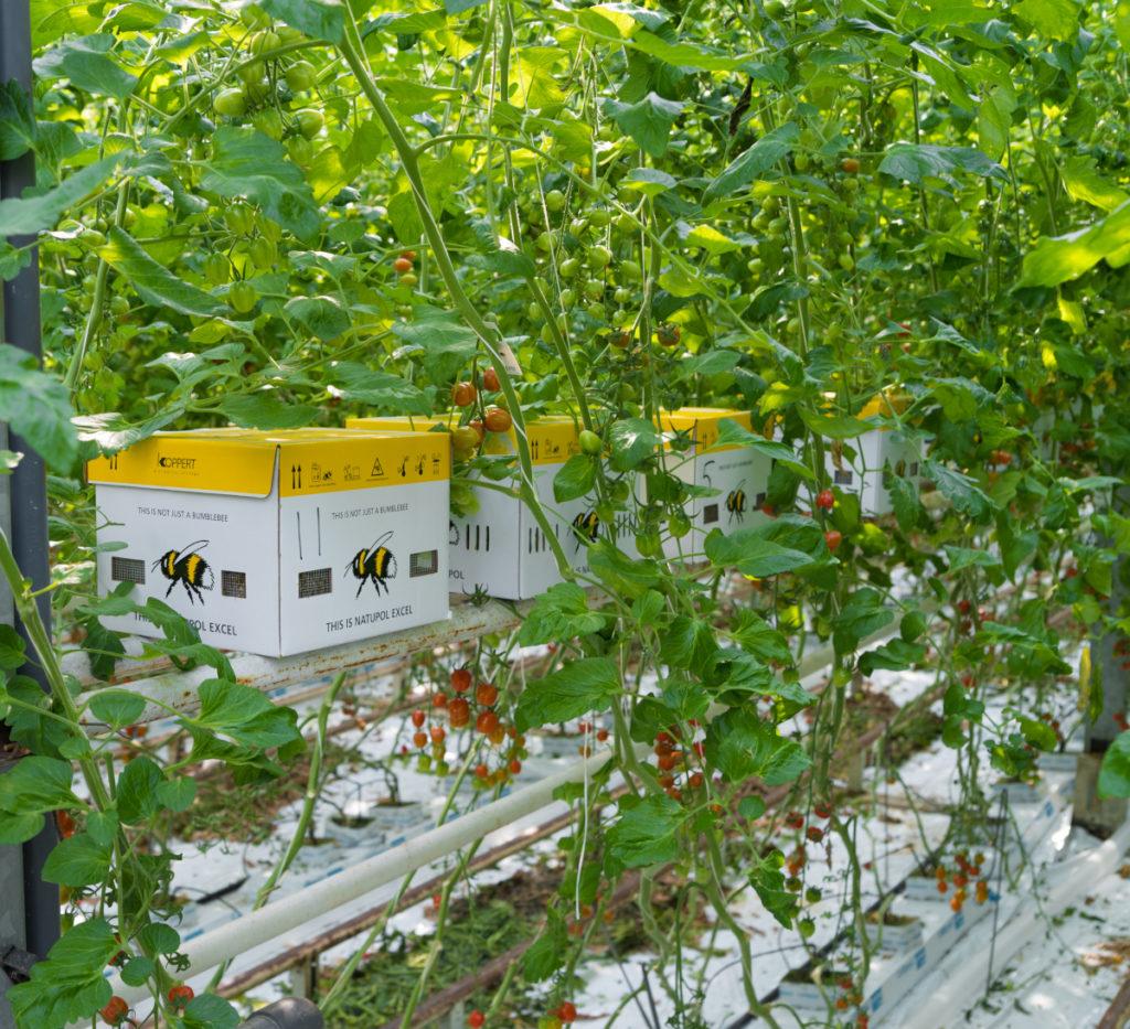 Polinización con abejorros cultivo tomate