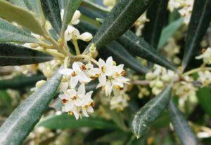 Olivo en floración