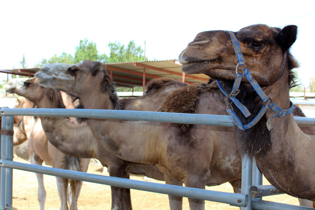 camellos en Pechina