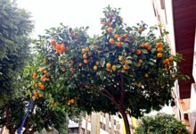 Photo of ¿Qué hacen con las naranjas que se recogen en las calles de Almería?