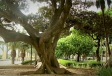 Photo of Almería presume de árboles famosos: milenarios, únicos, bellos…